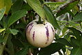 Poire melon, jardins du muséum de Toulouse 01.JPG