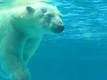 Orso polare in immersione