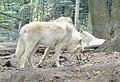 Polarwolf (Canis lupus arctos).jpg