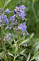 Polemonium laxiflorum (Polemoniaceae) (35404220450).jpg