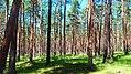 Polish Forest.jpg