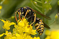 Polistes dominulus, Lodz(Poland)(js)01.jpg
