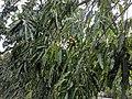 Polyalthia longifolia 2.jpg