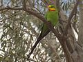 Polytelis swainsonii -Canberra, Australia-8a.jpg