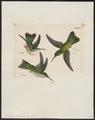 Polytmus brevirostris - 1820-1860 - Print - Iconographia Zoologica - Special Collections University of Amsterdam - UBA01 IZ19100095.tif