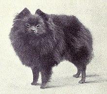 Pomeranian (dog) - Wikipedia