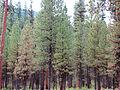 Ponderosa Pines (15396609652).jpg