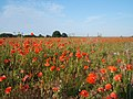 Poppies in a field at Thorpeness - geograph.org.uk - 194023.jpg