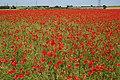 Poppyfields - geograph.org.uk - 457977.jpg