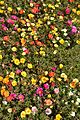 Portulaca grandiflora - Alipore - Kolkata 2013-02-10 4637.JPG