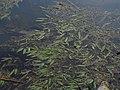 Potamogeton natans IMG 5255.jpg