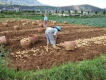 Potato harvest and farmers Dieng.jpg