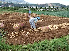 220px-Potato_harvest_and_farmers_Dieng dans FLORE FRANCAISE