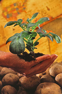 Potato plant. Potatoes spread to the rest of the world after European contact with the Americas in the late 1400s and early 1500s and have since become an important field crop.