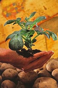 200px Potato plant