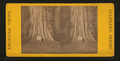 Pride of the Forest, Cal, from Robert N. Dennis collection of stereoscopic views.png