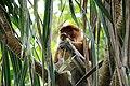 Proboscis monkey - Bako National Park - Sarawak - Borneo - Malaysia - panoramio - diego cue.jpg