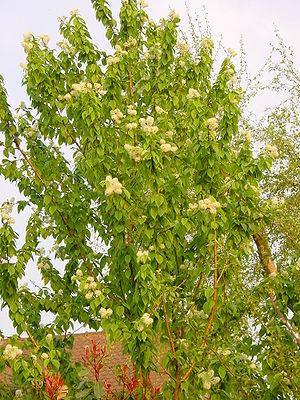 Richard Maack - Image: Prunus Maackii A