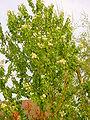 Prunus Maackii A.jpg
