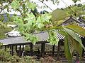 Prunus lannesiana Wils cv Gioiko02.jpg