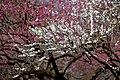 Prunus mume ta1.jpg
