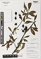 Prunus salicina herbarium (01).jpg