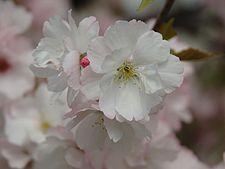 Prunus serrulata 2005 spring 031.jpg