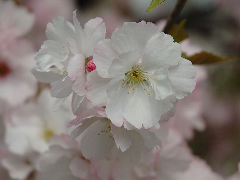 File:Prunus serrulata 2005 spring 031.jpg