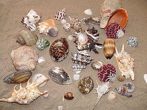 Мушлі різних молюсків