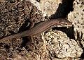 Psammodromus algirus (39200715954).jpg