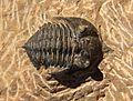 Pseudocryphaeus sp 2 dorsal.jpg