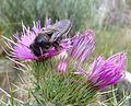 Psithyrus sp. - Flickr - gailhampshire.jpg