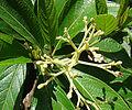 Psychotria viridis, a Shamanic species. (9378988841).jpg