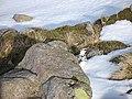 Ptarmigan, Lagopus muta - geograph.org.uk - 731362.jpg