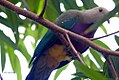 Ptilinopus magnificus 3zz.jpg