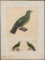Ptilinopus pectoralis - 1700-1880 - Print - Iconographia Zoologica - Special Collections University of Amsterdam - UBA01 IZ15600057.tif