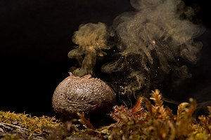 Puffball - Spores coming out of puffball fungus
