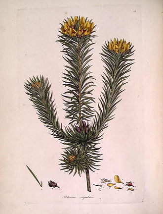 Pultenaea - An illustration of Pultenaea stipularis by James Sowerby which appeared in A Specimen of the Botany of New Holland in 1794.