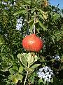 Punica granatum (2944476306).jpg