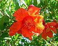 Punica granatum flower.jpg