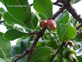 Punica - Image: Punica protopunica Socotra