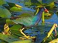 Purple Gallinule - Porphyrio martinica, Everglades National Park, Homestead, Florida (38539237780).jpg