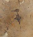 Quasisyndactylus longibrachis 1.jpg