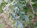 Quercus cerris Bosilegrad 4.JPG