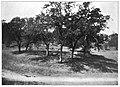 Quercus douglasii plate 3.jpg