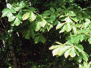 Quercus mongolica - Foliage