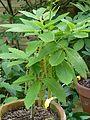 Quercus pontica - Flickr - peganum (3).jpg