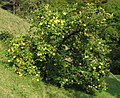 Quittenbaum cydonia oblonga.jpg