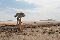 Quiver Trees in the Skeleton Coast Park, 2007.jpg