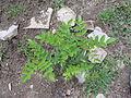Réglisse(feuilles).JPG